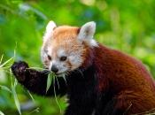 Fotos do Panda Vermelho 9