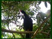 Fotos do Pássaro Mutum 8