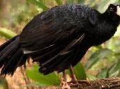 Fotos do Pássaro Mutum 21
