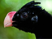 Fotos do Pássaro Mutum 23