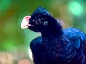 Fotos do Pássaro Mutum 24