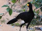 Fotos do Pássaro Mutum 14