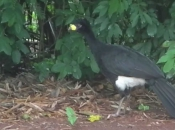 Fotos do Pássaro Mutum 2