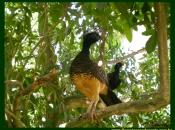 Fotos do Pássaro Mutum 6
