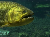 Fotos do Peixe Dourado1