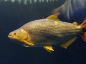 Fotos do Peixe Dourado12