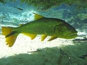 Fotos do Peixe Dourado17