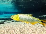 Fotos do Peixe Dourado2