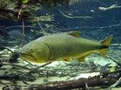 Fotos do Peixe Dourado4