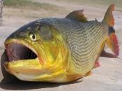 Fotos do Peixe Dourado7
