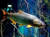 Fotos do Peixe Dourado8