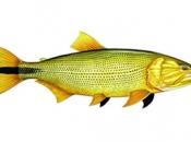 Fotos do Peixe Dourado9