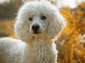 Fotos do Poodle 3