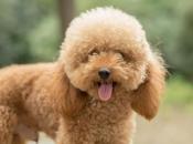 Fotos do Poodle 11