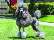 Fotos do Poodle 16
