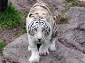 Fotos do Tigre Branco1
