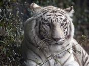Fotos do Tigre Branco11