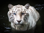 Fotos do Tigre Branco14