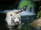 Fotos do Tigre Branco3