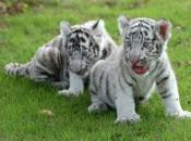 Fotos do Tigre Branco4