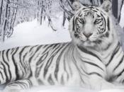 Fotos do Tigre Branco5