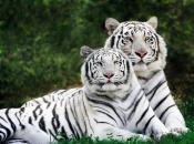 Fotos do Tigre Branco6