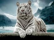 Fotos do Tigre Branco7