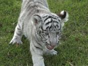 Fotos do Tigre Branco9