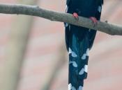 Fotos do Zombeteiro-de-bico-vermelho 17