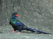 Fotos do Zombeteiro-de-bico-vermelho 2