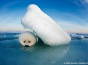 harp seal pup in white coat phase on gulf of st lawrence sea ice