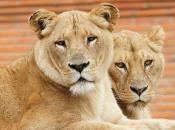 Fotos Leão Africano 6