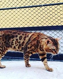 Gato-de-Bengala 1