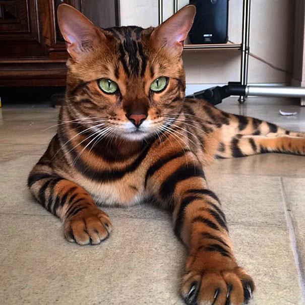 Gato-de-Bengala 4