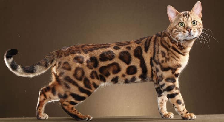 Gato-de-Bengala 5