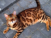Gato-de-Bengala 2