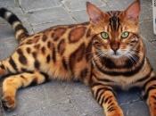 Gato-de-Bengala 3