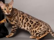 Gato-de-Bengala 6
