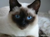 Gato Siamês 4