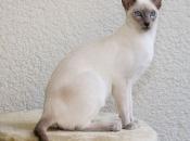 Gato Siamês 1-