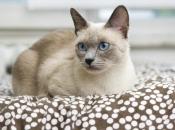 Gato Siamês 11