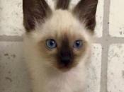 Gato Siamês 12