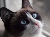 Gato Siamês 7