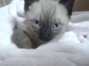 Gato Siamês 8