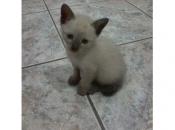 Gato Siamês 9