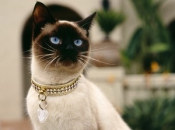 Gato Siamês 13
