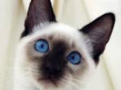 Gato Siamês 14
