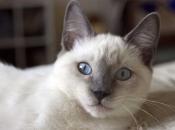 Gato Siamês 15