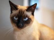 Gato Siamês 16