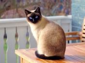 Gato Siamês 18